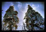 Dva zmrzlé stromy