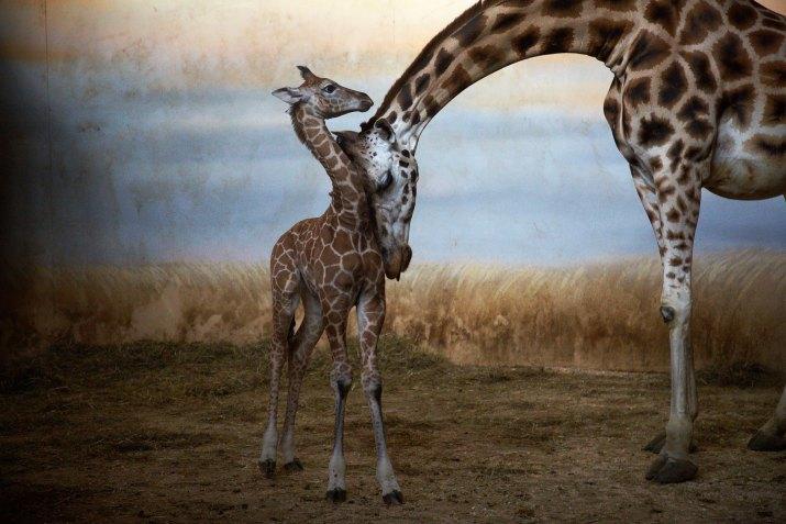 PŘÍRODA A ŽIVOTNÍ PROSTŘEDÍ MARTIN MATĚJKA, volný fotograf: Žirafí mláďata v Zoo Praha, únor – duben 2012