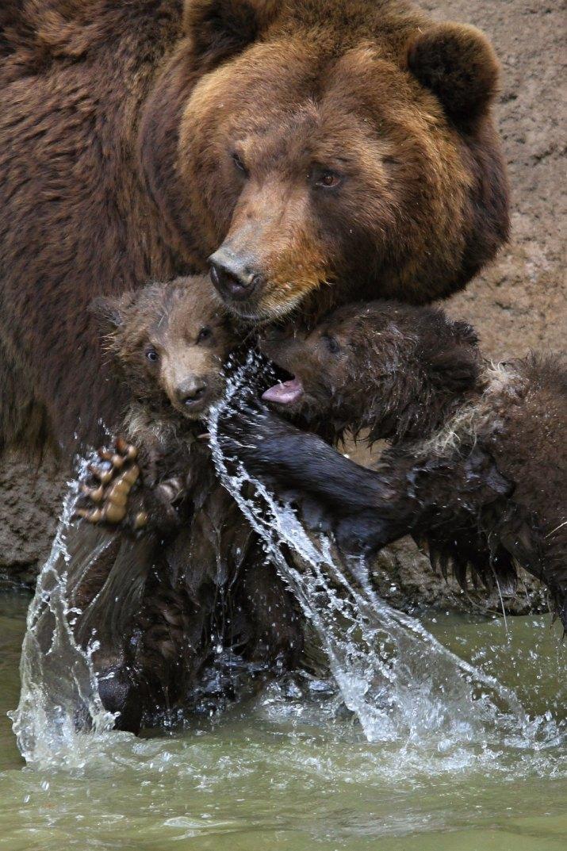 PŘÍRODA A ŽIVOTNÍ PROSTŘEDÍ RADEK MÍČA, AFP: Kuba, Toby a Kamčatka – medvídci narození v Zoo Brno, 31.5.2012