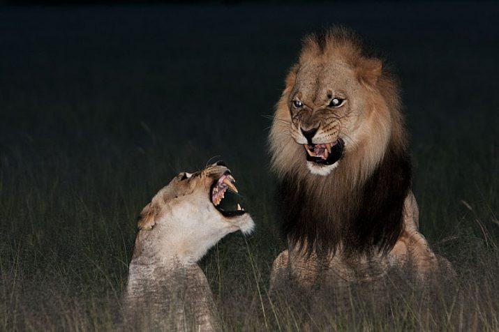 Lvi z Kalahari