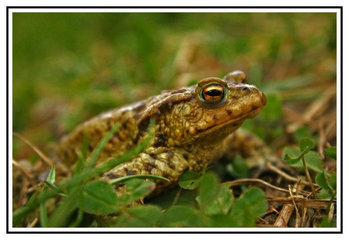 Žabí princ