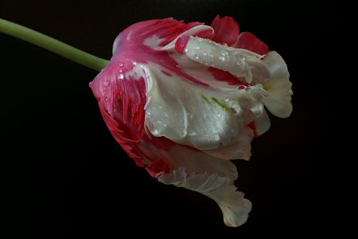 Tulipán papušek