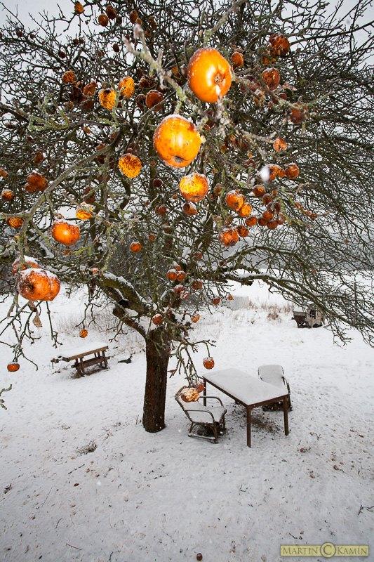 Jabloň vydala plody až v zimě