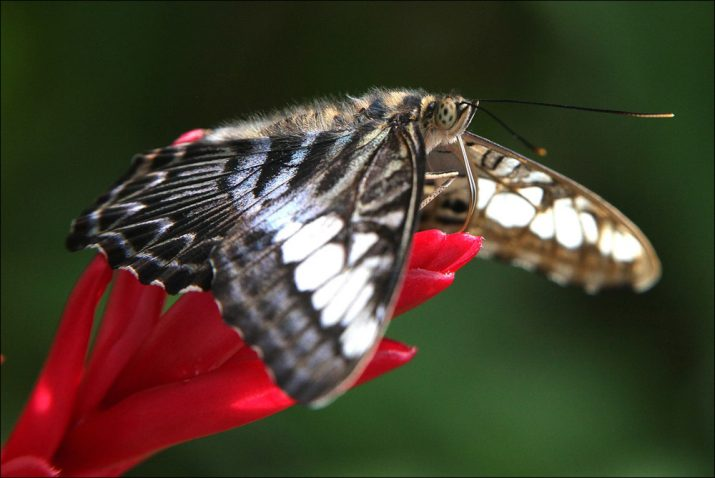 motýl, rod Phanthenos, vyfoceno ve skleníku Fata Morgána
