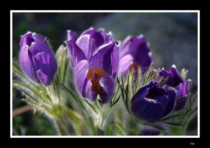 Jarní krasavec