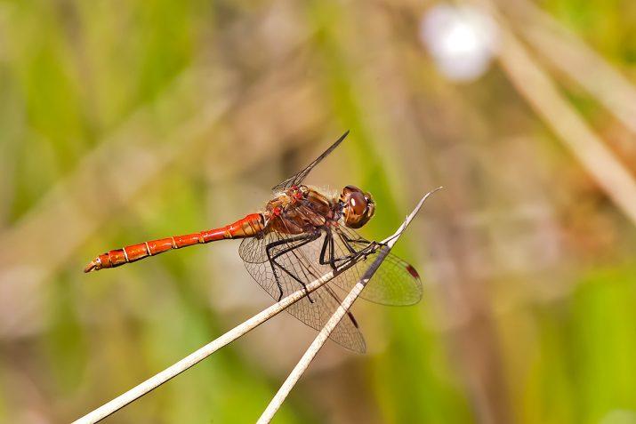 Vážka rudá - Sympetrum sanguineum