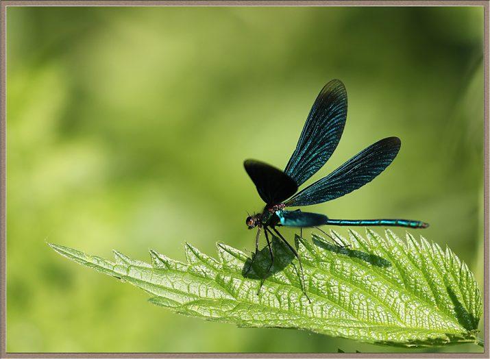 Motýlice lesklá - Calopteryx splendens